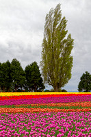 Skagit Valley Tulips on 4-20-2014